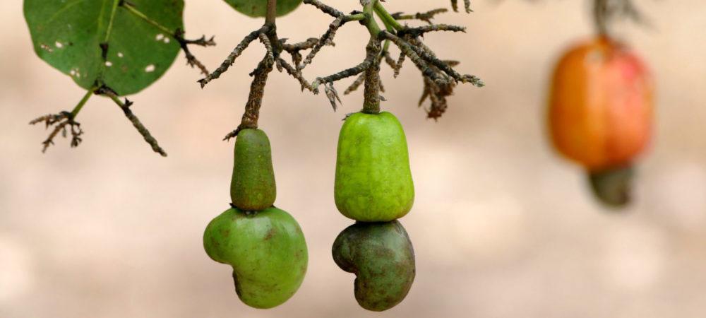 Cashews am Baum in 3 verschiedenen Stadien
